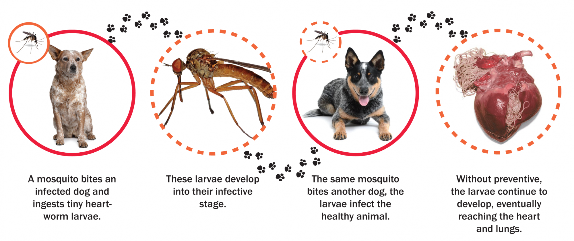 graphic showing how heart worm speads